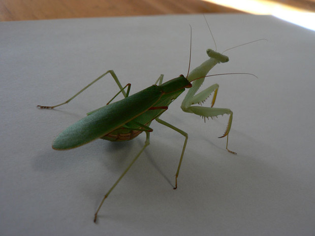 """Inter-racial mantis porn! That's a native New Zealand male attempting to have his way with a springbok mistress as it is attracted to her """"perfume"""". It's one way that our native mantises are being decimated because he wastes his time, effort and issue in this unproductive affair."""