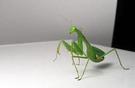 The South African or springbok mantis. They can be green to yellow to brown. They have a thin neck and NO blue dots on their arms. This one is a female with a big pregnant belly.