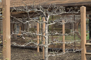 Espalier apple tree in winter