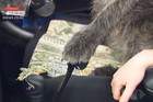 Paw on the gear stick - driving dogs