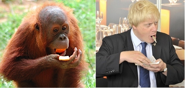 Boris tucks down lunch, while an orangutan copies.