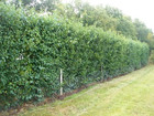 Hedge