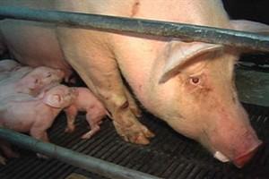 Ham / Pigs