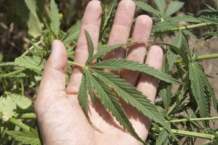 cannabis / marijuana / weed / police / auckland