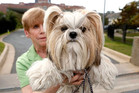 Dog / Dangerous Dog / shih tzu . mitch harris