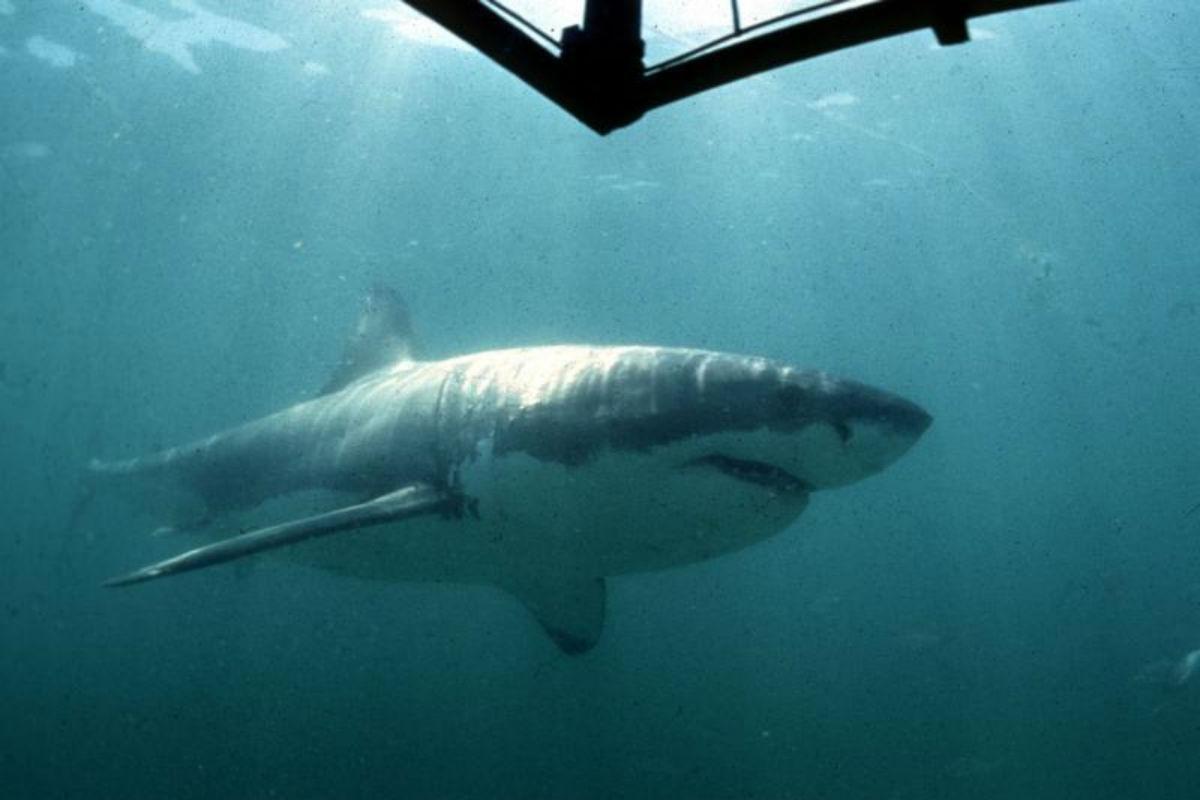 shark / sharks / riley elliott